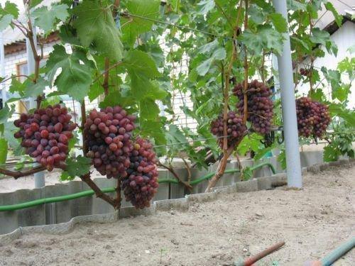 Виноград Красная роза