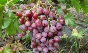 Виноградные сорта Роза: дамская, белая красная, бийская - описание