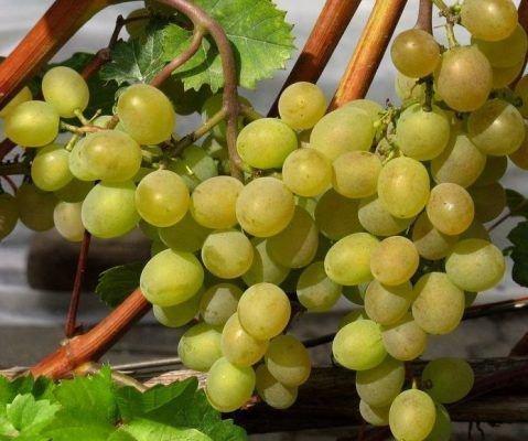 Ягоды винограда Кристалл