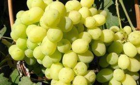 Виноград «Лора»: особенности посадки и ухода