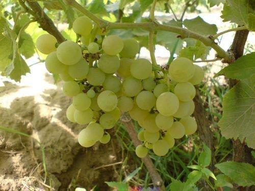 Виноград Маленг Ранний