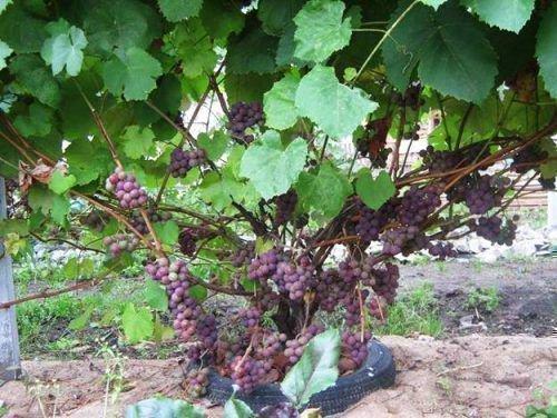 Куст винограда Минский