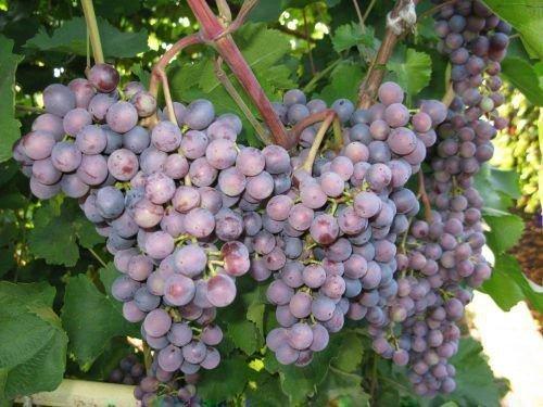 Столовый виноград Муромец