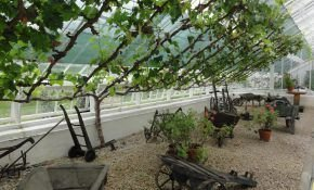 Выращивание винограда на даче – сорта, посадка, уход