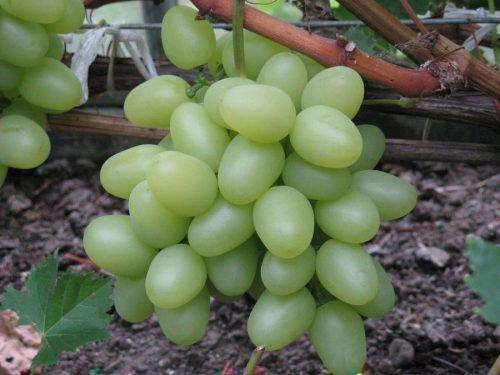Виноград Надежда Аскайская