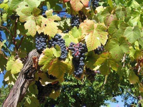 Виноград Первенец Амура лоза