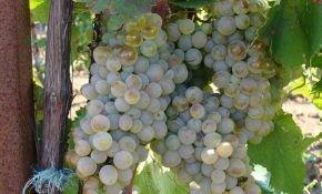 Виноградные сорта Голодриги