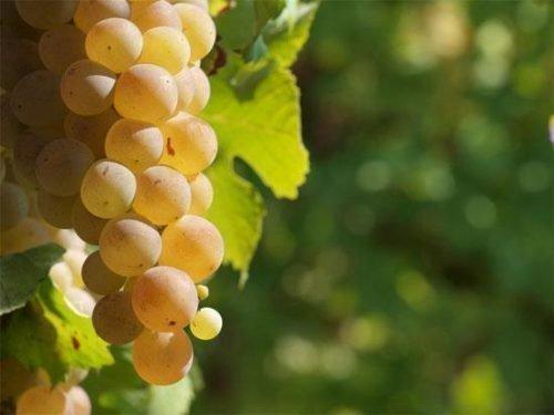Виноград Плевен Устойчивый