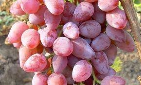 Виноград сорта бело розовый