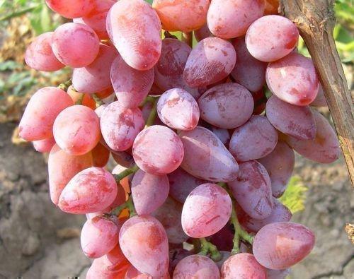 Виноград Розовый Тимур