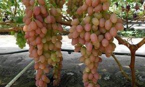 Описание раннего сорта винограда Самохвалович
