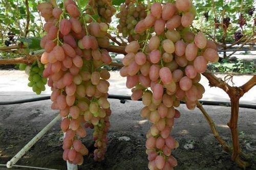 Виноград сорта Самохвалович
