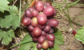 Сенатор: описание и особенности выращивания винограда