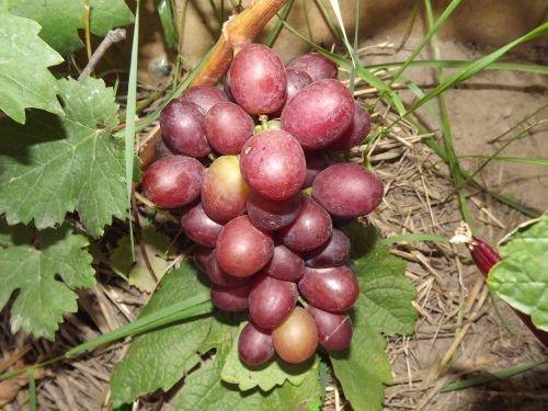 Виноград сорта Сенатор