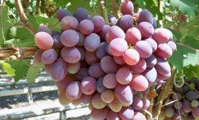 Атаман-сорт винограда и его особенности