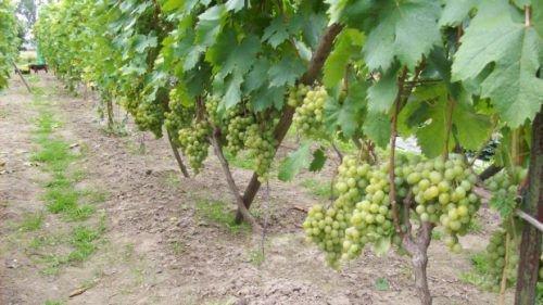 Виноград сорта Белая красавица