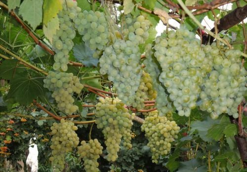 Виноград сорта Белое Чудо