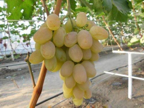 Виноград сорта Богатяновский