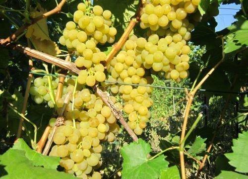 Виноград сорта Феникс