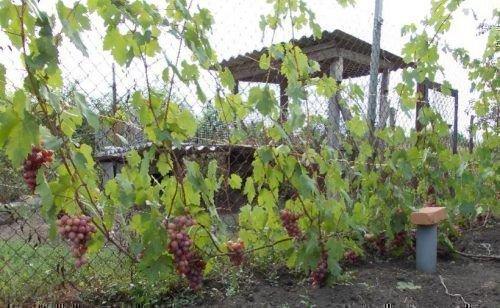 Виноград сорта Гурман ранний