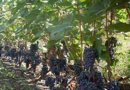 Виноград сорта Гурзуфский розовый