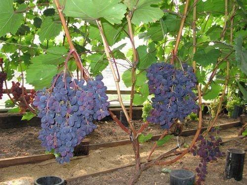Виноград сорта Кишмиш Запорожский