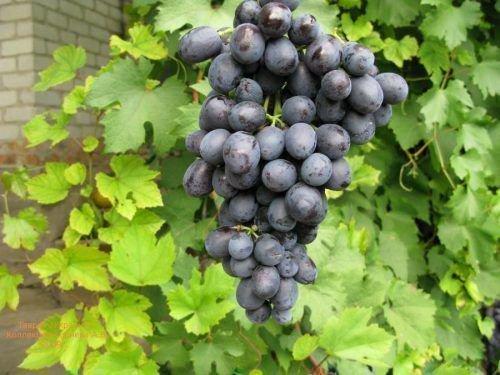 Виноград сорта Таврия