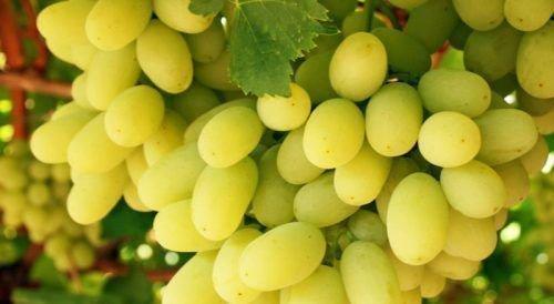 Виноград Томпсон Сидлис