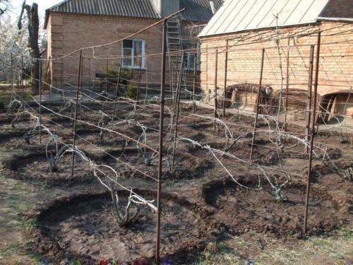 Виноград в лунках