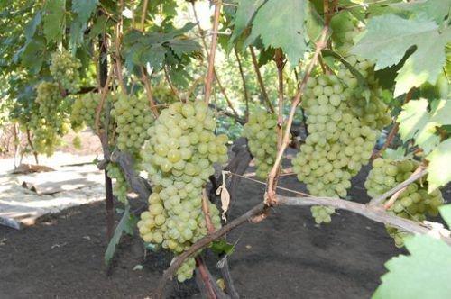 Урожайнсоть винограда Валек