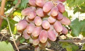Описание столового винограда Юлиан