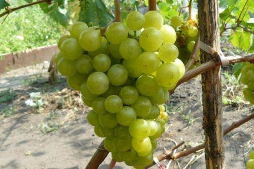Виноград Жемчуг