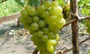 Описание сорта винограда Жемчуг Сабо: преимущества и недостатки