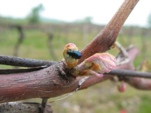 Виноградная блошка