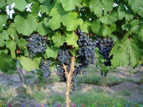 Урожай винограда сорта Изабелла