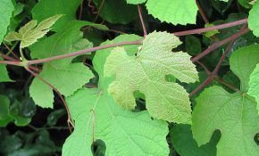 Удобряем виноградник правильно и какая нужна подкормка