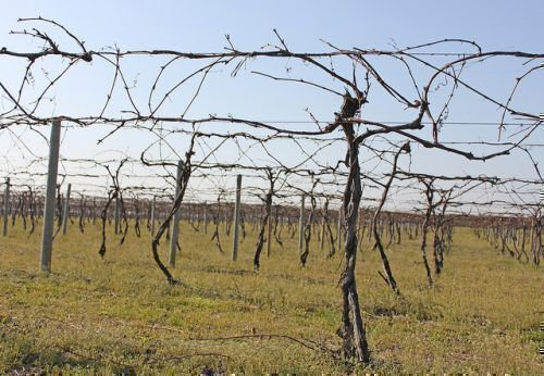 Виноградник в марте