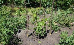 Правила выращивания винограда в первый год