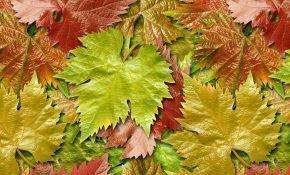 Лист молодого винограда - полезные свойства