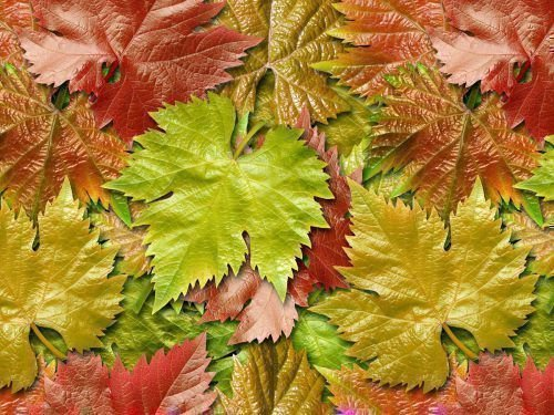 vinogradnye-listja-500x375.jpg