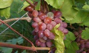 Виноградный сорт Азалия