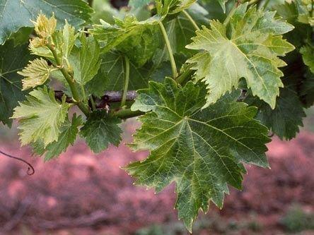 Больные листья винограда