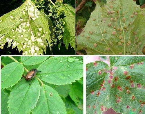 Вредители виноградных кустов