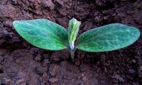 Когда и как высаживать кабачки в открытый грунт?