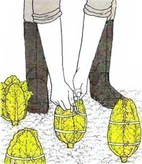 Как правильно выращивать пекинскую капусту?
