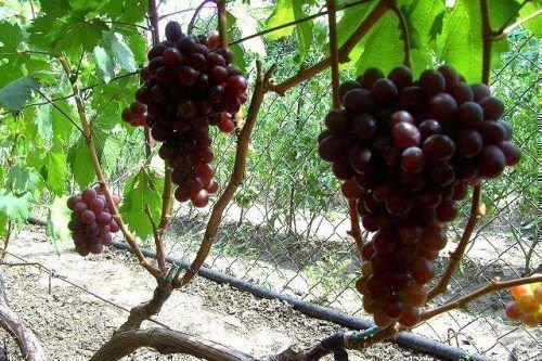Грозди винограда сенатор