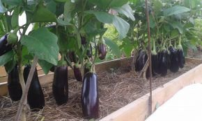 Выращивание баклажанов на Урале