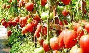 Способы формирования томатов