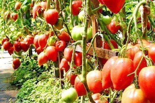 Высокий урожай