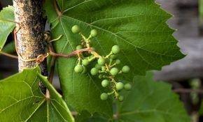 Что делать, если виноградная лоза не вызрела?